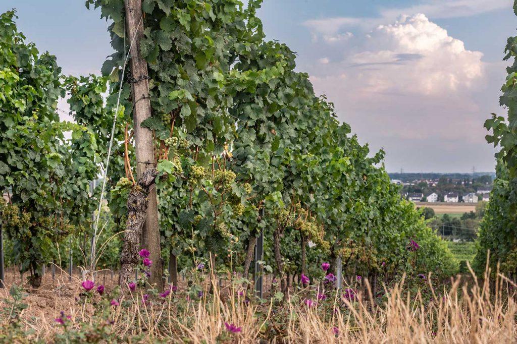 Weingut Schreiber_Rebstock Kirchenstück_Ökologische Rebe im Weinberg